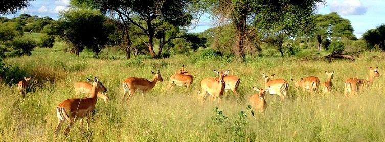 antilops1