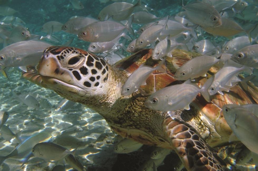 Turtle_brando
